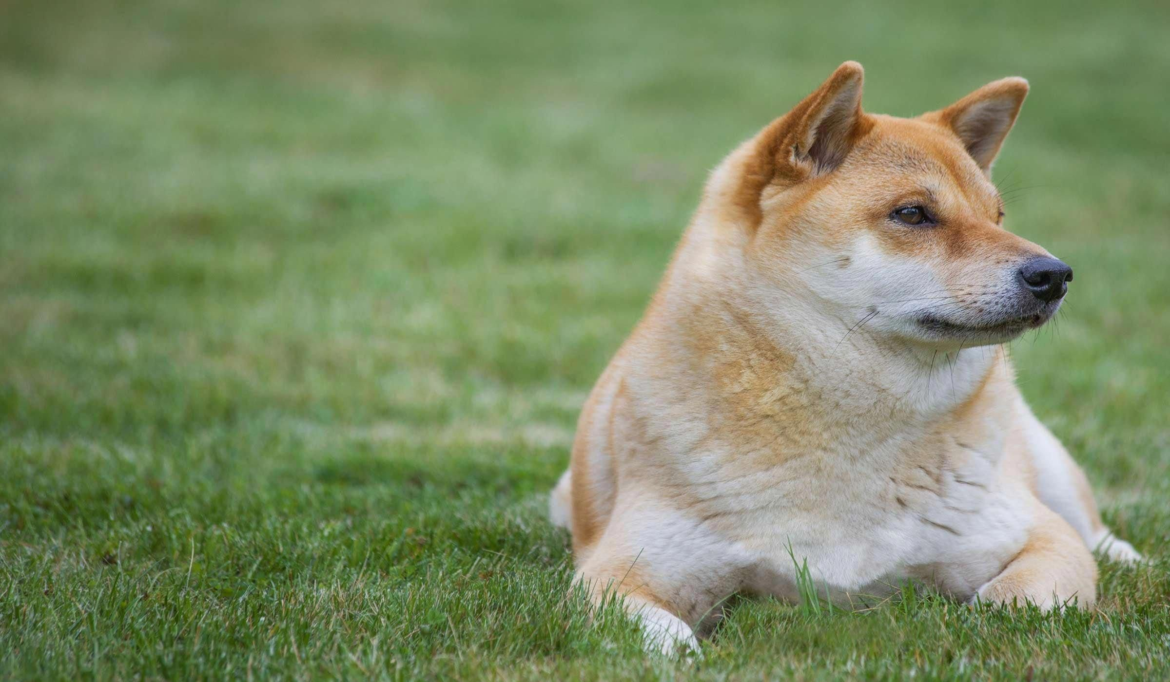 Learn how to potty train a shiba inu puppy using schedule