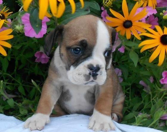 Pug And English Bulldog Miniature Bulldog Pug Mixed Breeds Cute