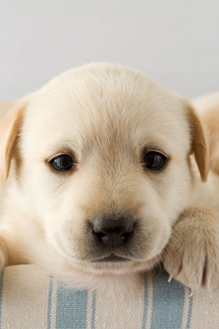 Puppy Portrait Of Cute Labrador Puppy Goldenretriever In 2020 Golden Retriever Breeder Golden Retriever Retriever