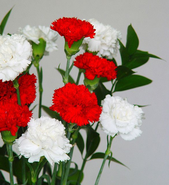 Flores De Claveles Blancos Y Rojos Dianthus Flowers Carnation Flower Sweet William Flowers