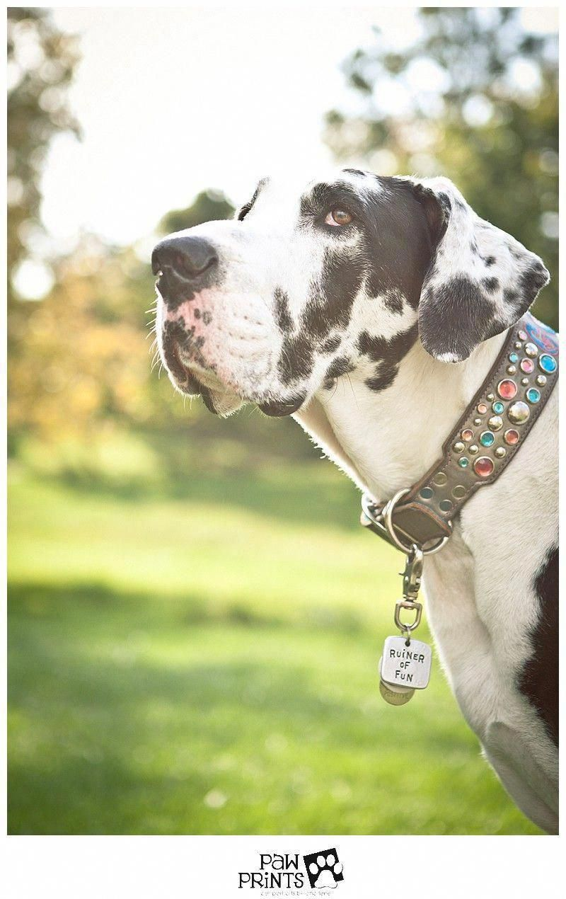 Fantastic Great Dane Puppies Info Is Available On Our Site Have