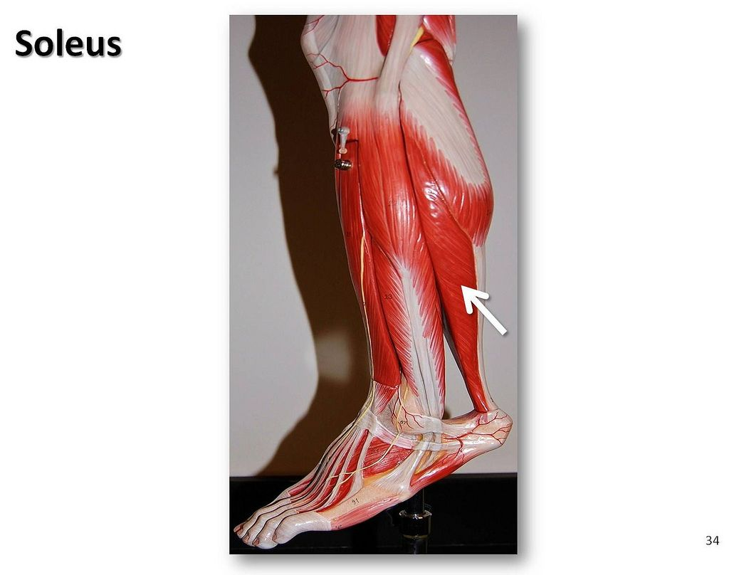 Soleus Muscles Of The Lower Extremity Anatomy Visual Atlas Page