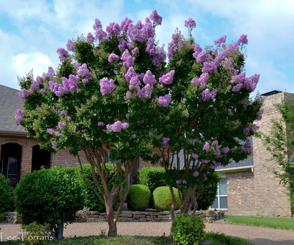 Purple Crape Myrtles Myrtle Tree Crape Myrtle Lawn And Landscape