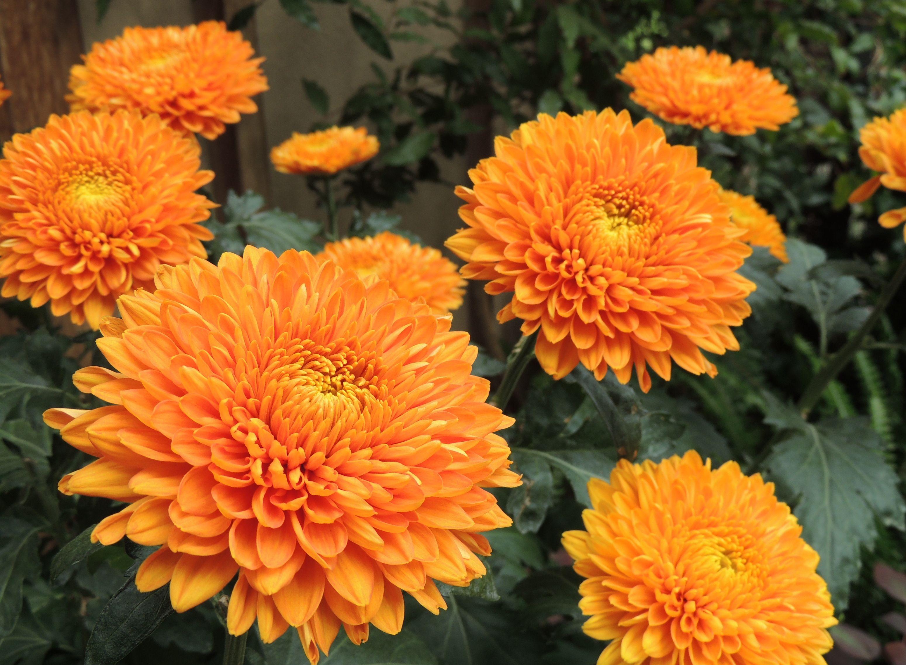 Decorative Mum Chrysanthemum X Morifolium Honeyglow Photo By Cathy Matos Longwoodgardens Garden Mum Chrysanthemum Growing Chrysanthemum
