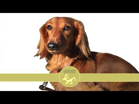 Dachshund Sound Sensitivity And Barking Youtube Dachshund