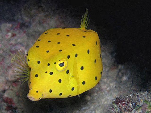 Yellow Boxfish Redang Fish Underwater Cute Fish