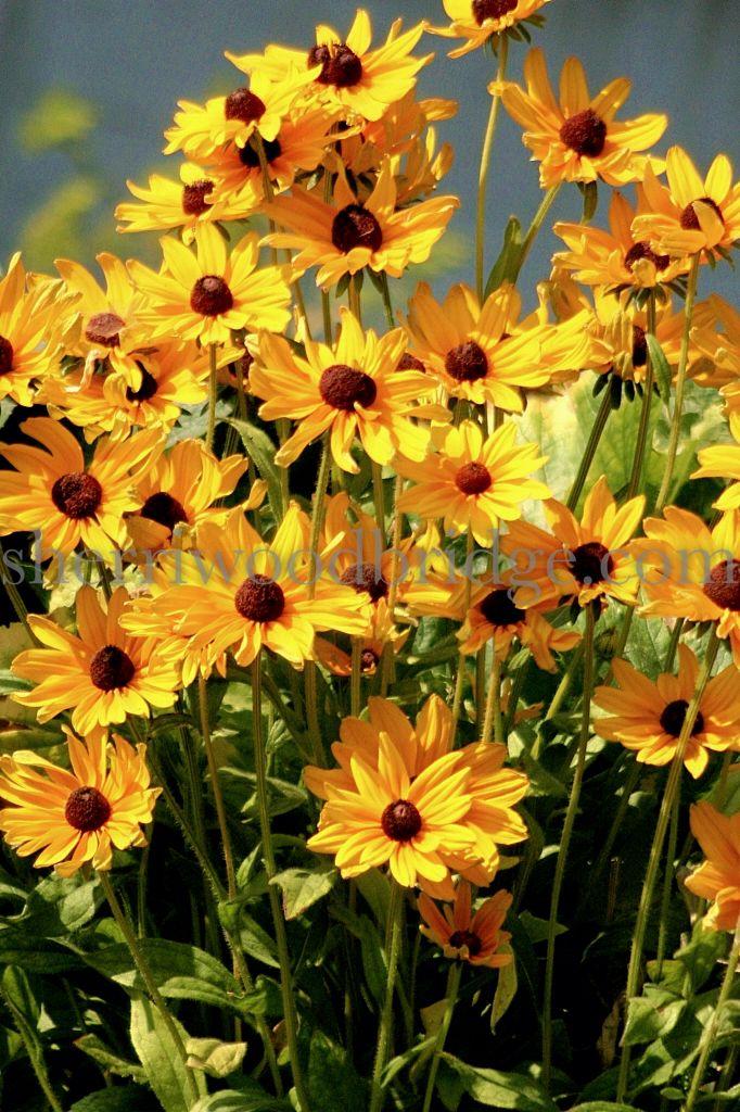Black-eyed Susans in the Fall | Black eyed susan, Flower ...