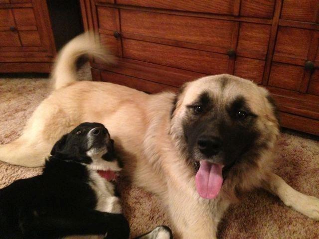 Adopt Arizona Koda On Petfinder Anatolian Shepherd Dog Anatolian Shepherd Dog Adoption