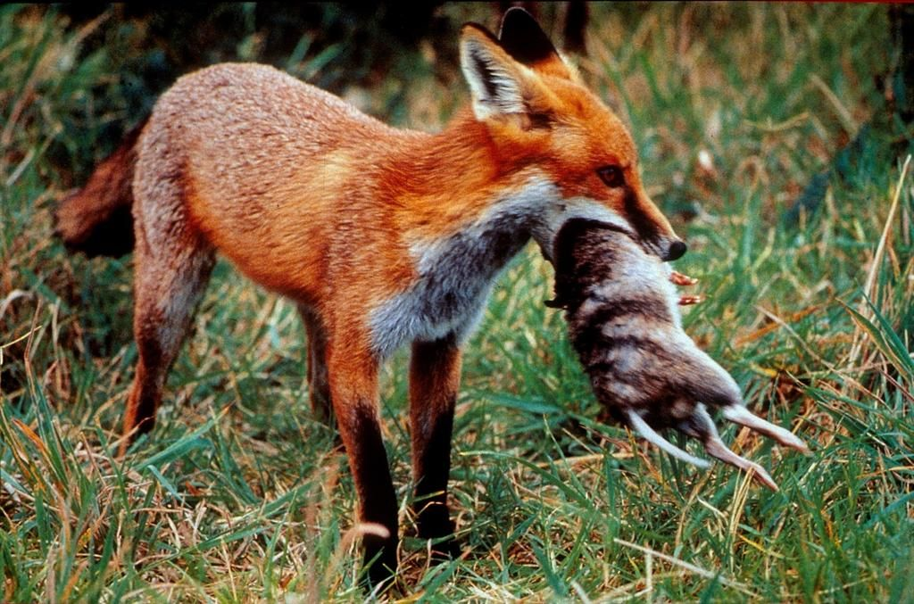 P5_Foxes prey on native animals Source Clive Marks.jpg
