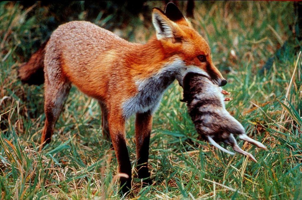 Foxes prey on native animals w i l d  r e d  f o x b e a u t y - best of coloring page of a red fox