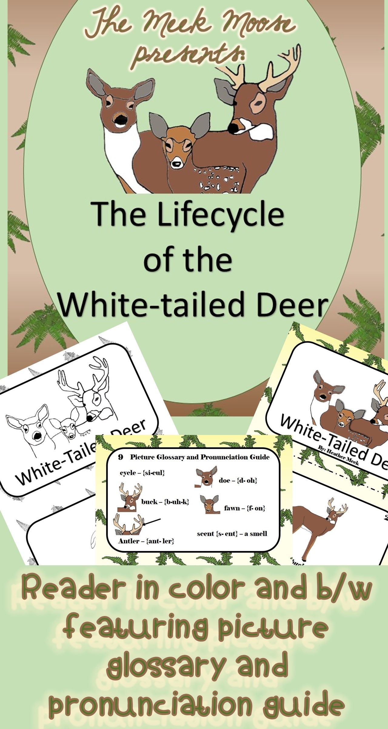 Life Cycle Of The White Tailed Deer Reader