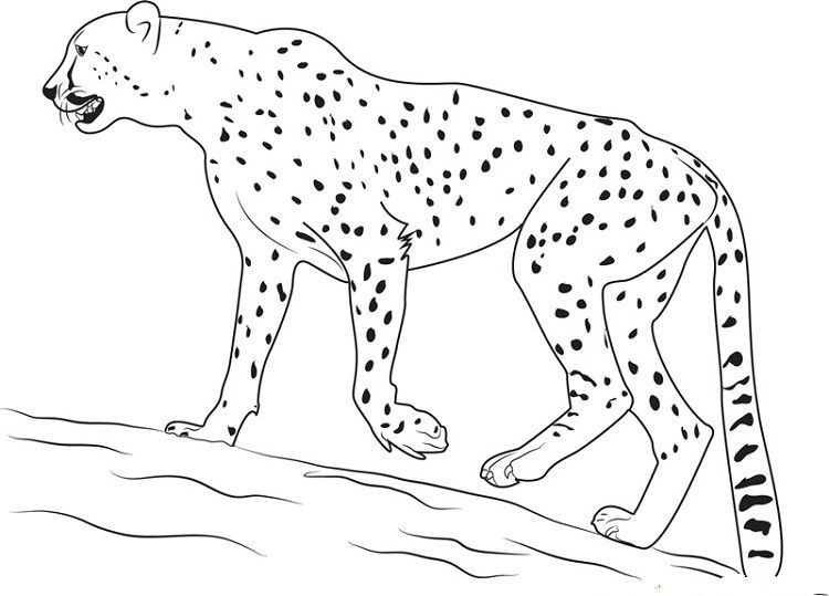 Free Cheetah Coloring Printable Sheet Page Shark Coloring Pages Dolphin Coloring Pages Cheetah Drawing