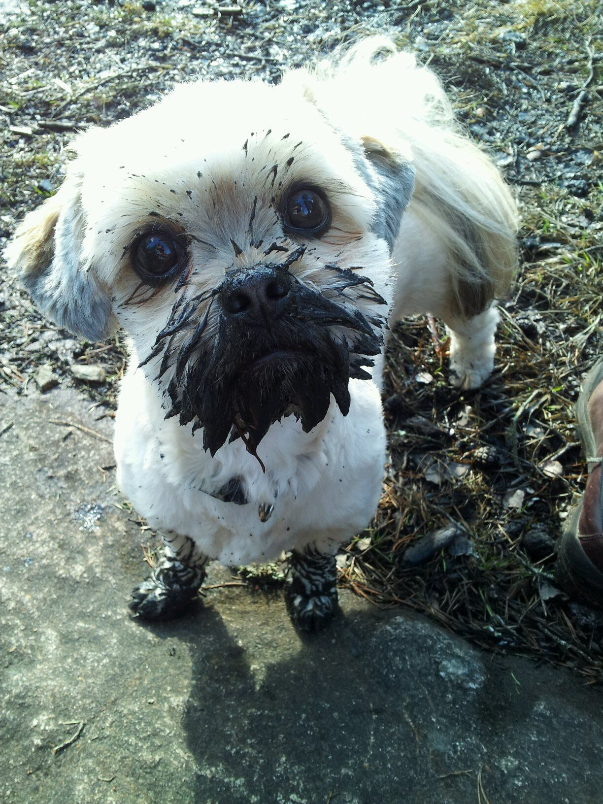 Easy the lhasa apso could not fathom why I denied cuddling after she went frog hunting in the mud…