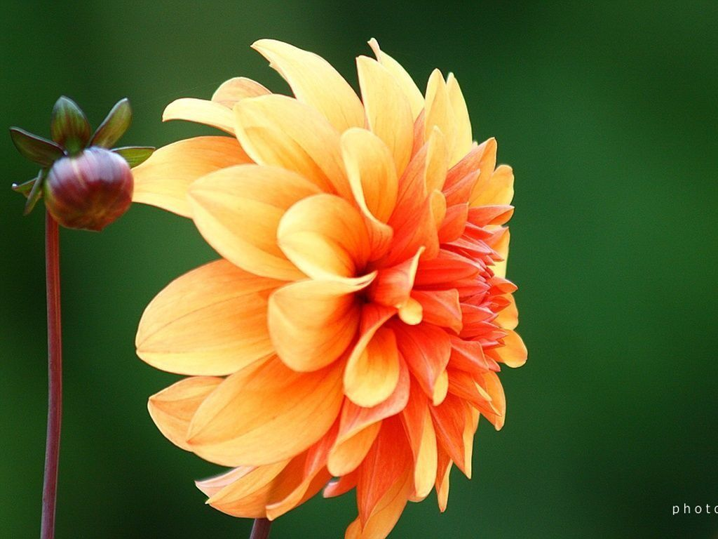 Dahlia Flower Wallpapers Hd Free Download Dahlia Flower Flowers Flower Wallpaper