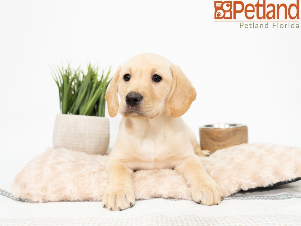 Puppies For Sale Puppy Friends Puppies Labrador Retriever Puppies