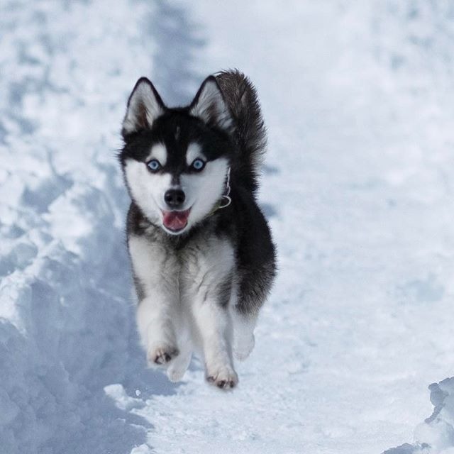 Excited For My Birthday I M 3 Years Old Siberian Husky