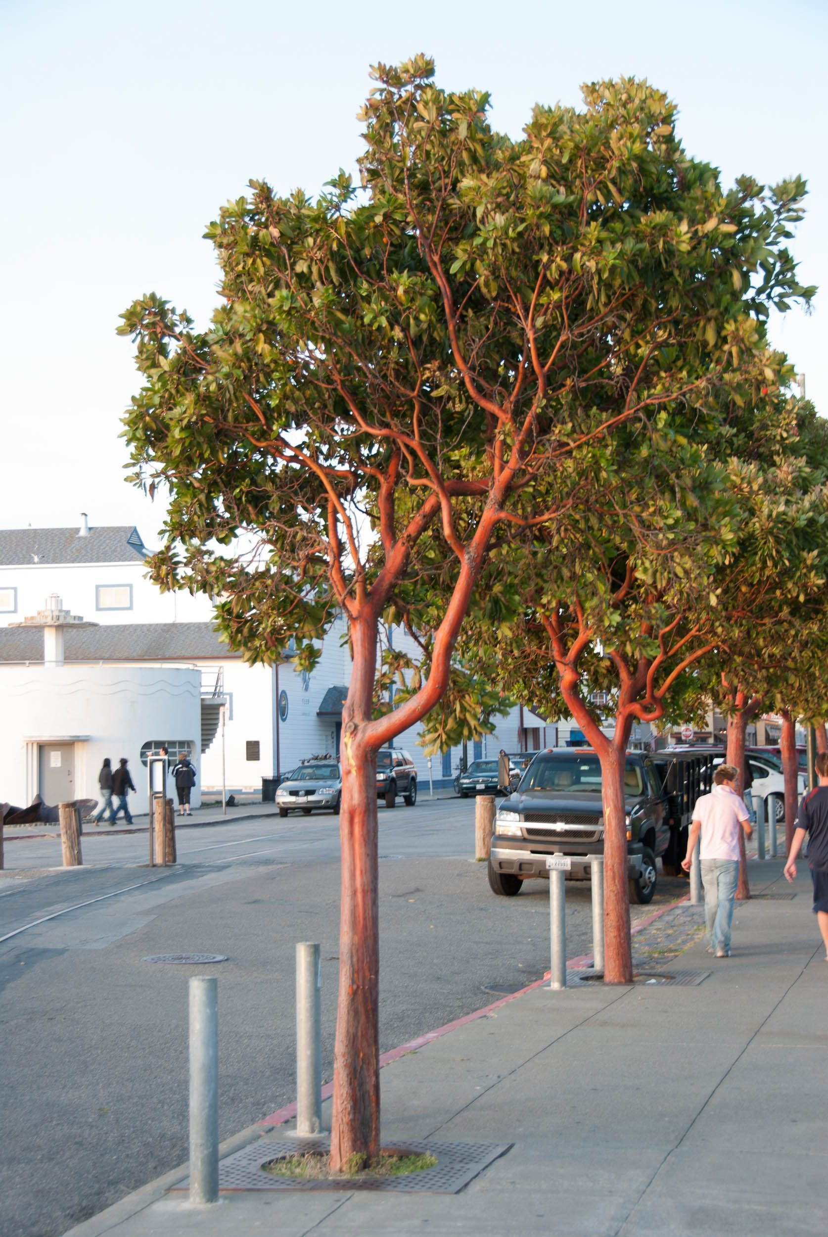 Image Result For Arbutus Menziesii Unedo Strawberry Tree Reading Garden Shade Trees