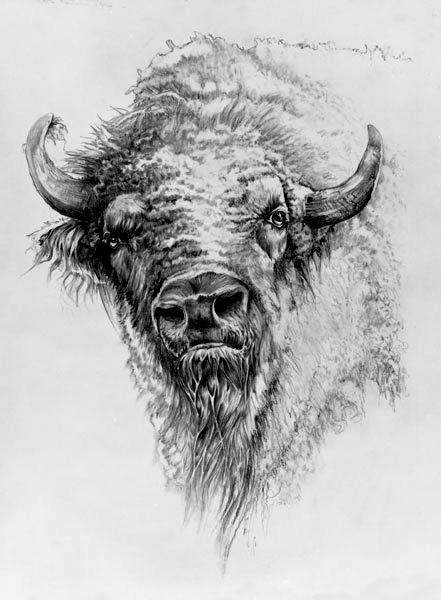 drawing buffalo buffs pinterest buffalo drawings and animal drawings. Black Bedroom Furniture Sets. Home Design Ideas