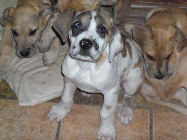 Pin By Raven Fox On Gentle Giants Great Dane Puppy Dogs For