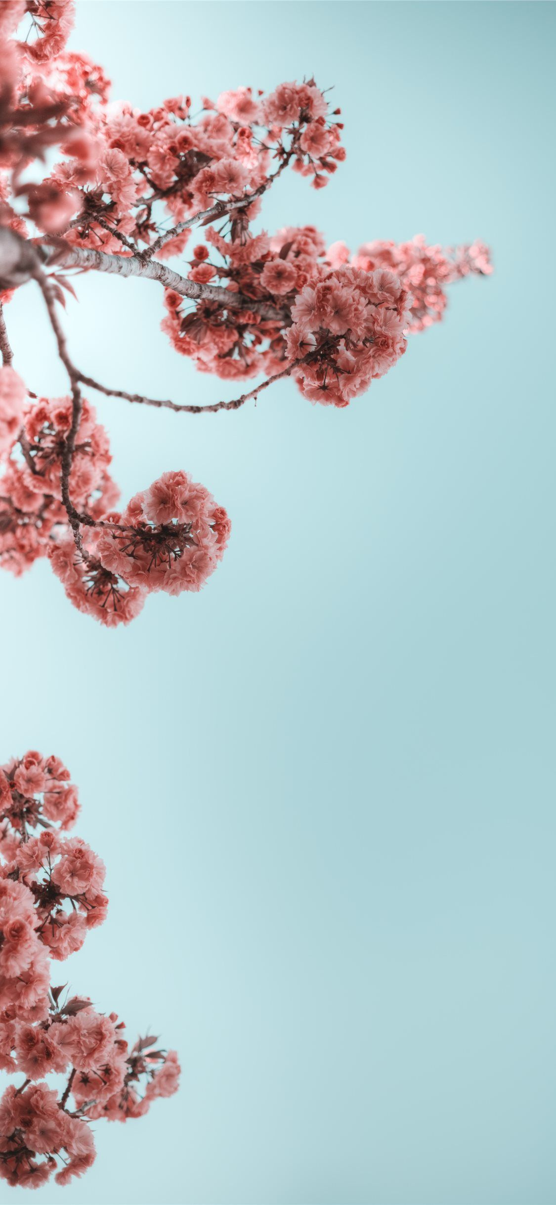 Selective Photograph Of Branches With Flower Flower Cherryblossom Tree Summer Sprin In Flower Iphone Wallpaper Wallpaper Iphone Summer Cute Flower Wallpapers
