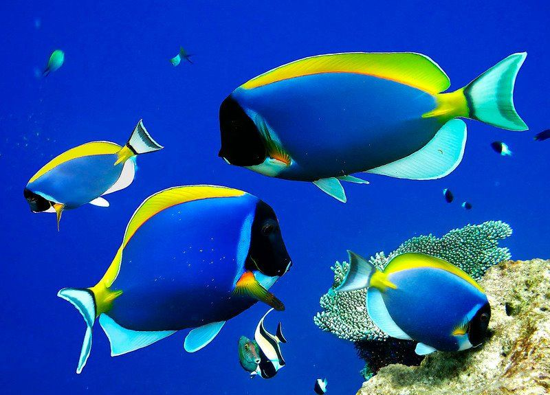 Powder Blue Tang Or Powderblue Surgeonfish Is A Common Name Of Marine Fish In The Acanthurus Leucosternon Genus And Acathu Ocean Creatures Sea Fish Marine Fish