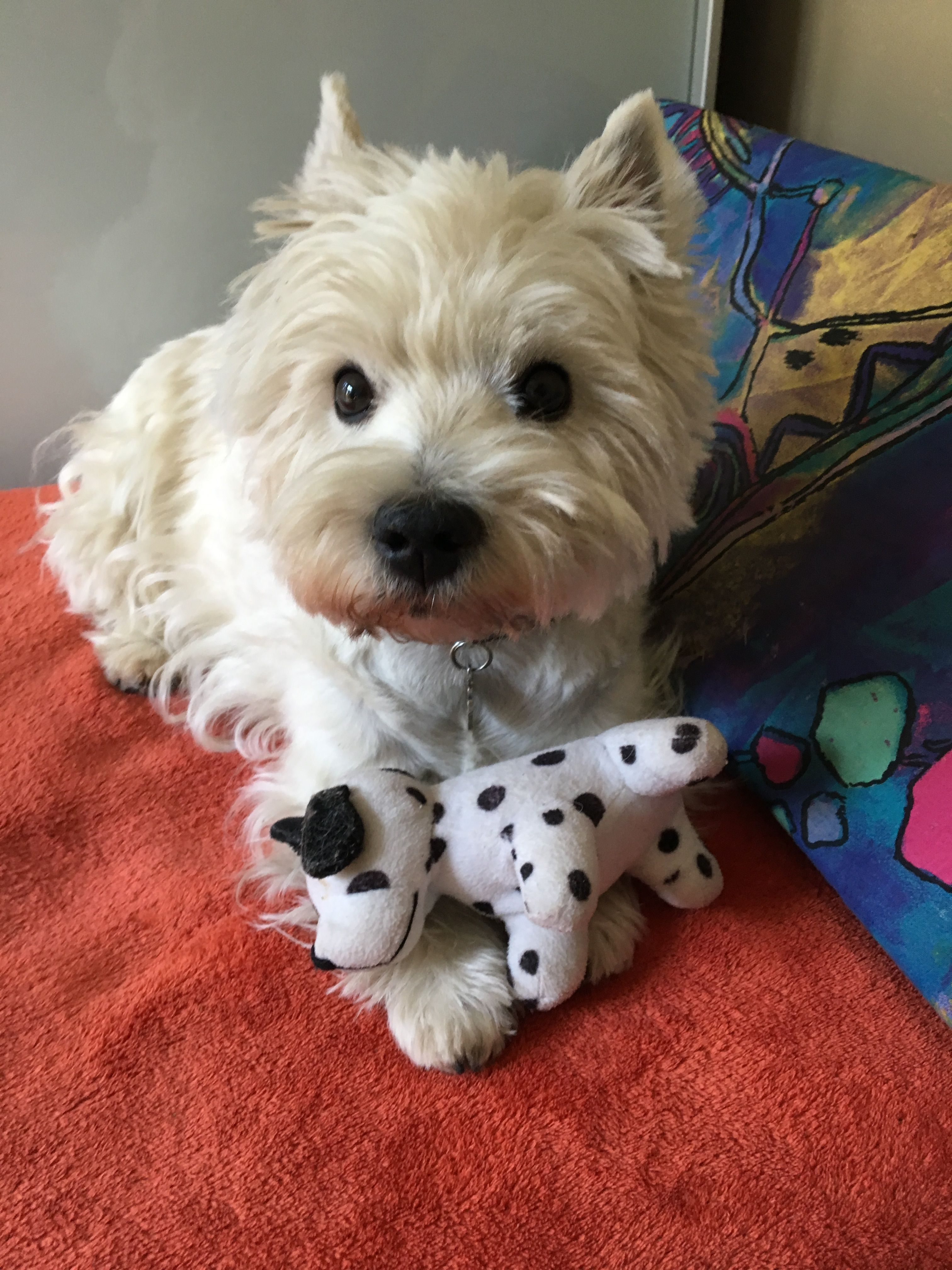 Pin By Marissa Hatfield On Cute Animals Westie Dogs Cute
