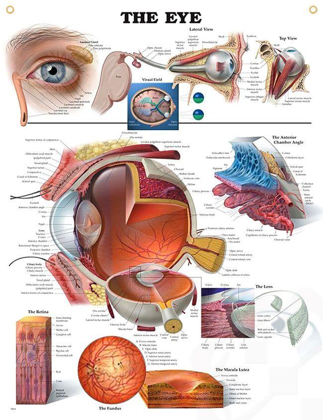 The Eye 20x26 | Eye anatomy, Anatomy and Fields