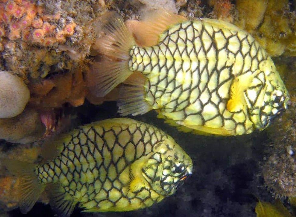 Pineapple Fish Salt Water Fish Ocean Fishing Marine Fish