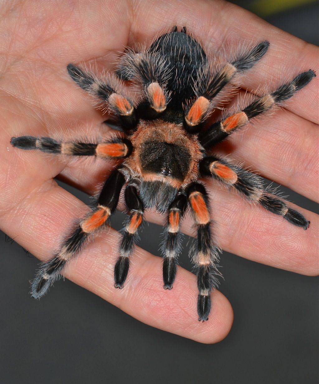 Mexican Red Knee Tarantula Pet tarantula, Pet spider