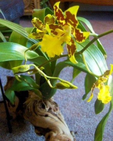 Mounted Oncidium Orchid Blooms Oncidium Orchids Oncidium Orchids
