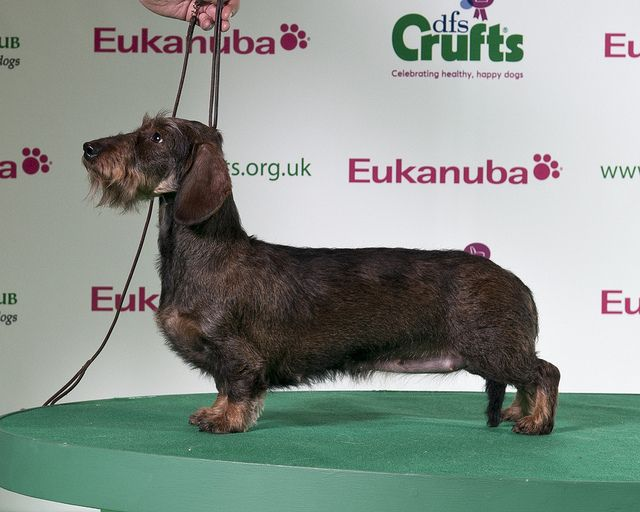 Dfs Crufts 2011 Dachshund Wirehaired Best Of Breed Happy Dogs