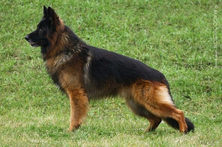 Long Hair German Shepards Long Haired Black And Red German