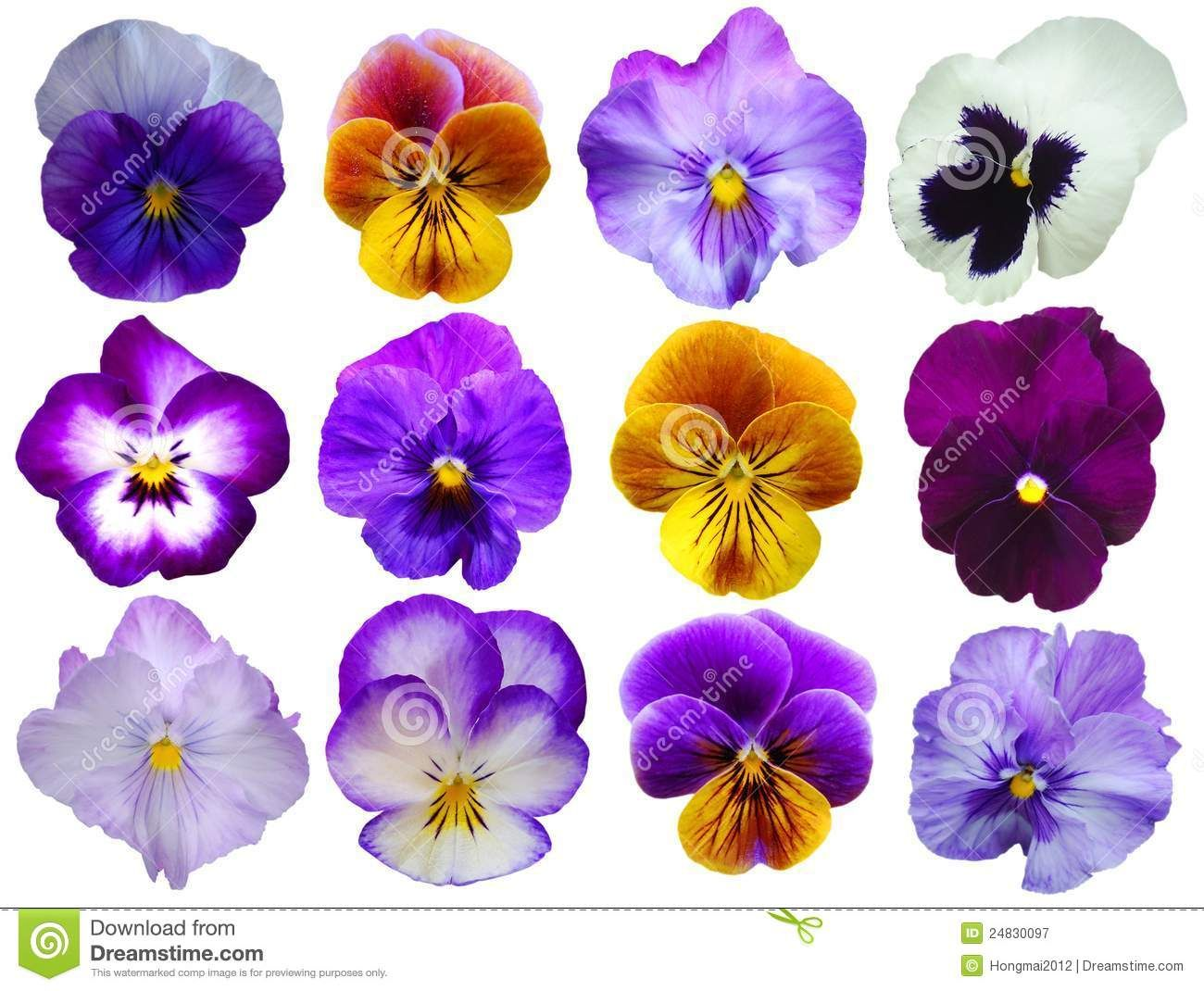 Pin On Pansies