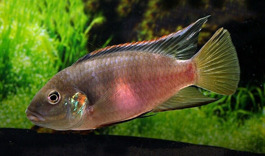 Offering A Pair Male And Female Of Rare Benitochromis Nigrodorsalis Moliwe Southwest Region Cameroon African Cichlids Cichlids African Cichlid Aquarium