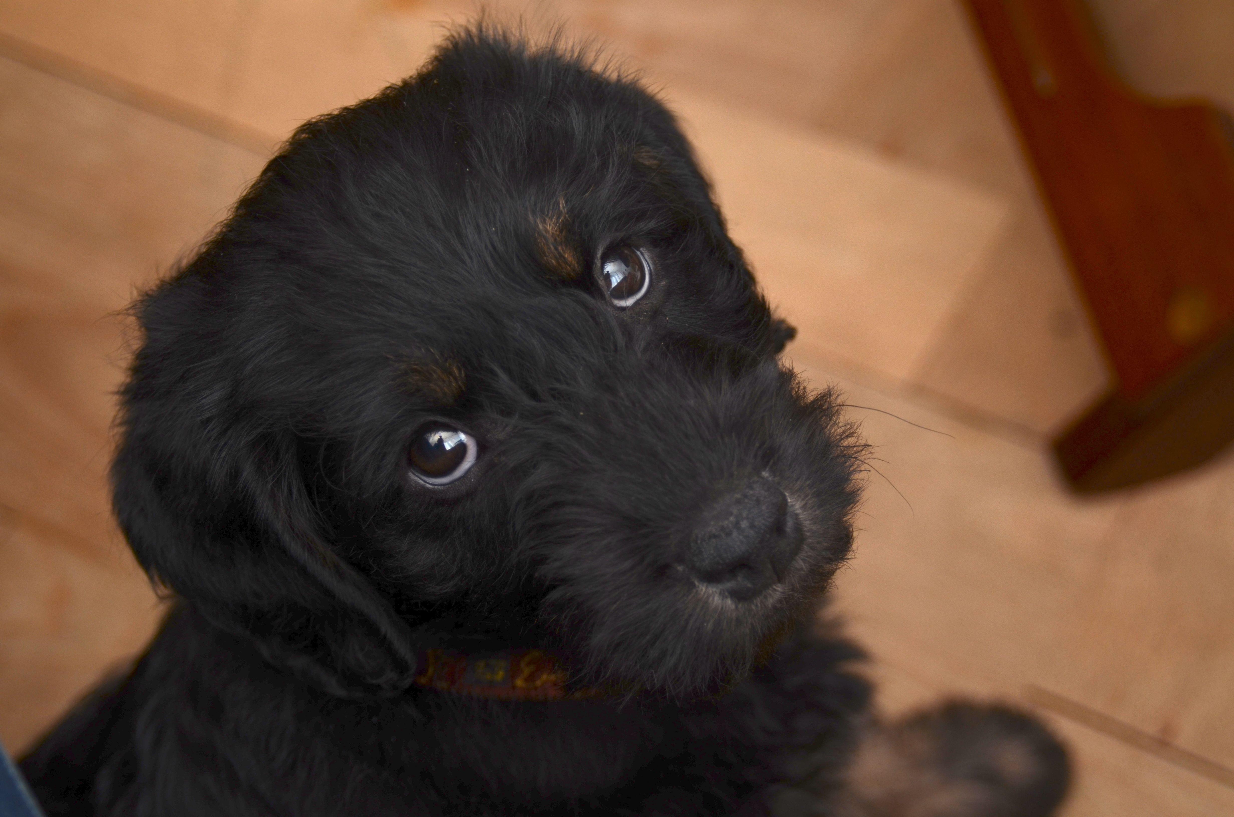 Paco, 9 week old labradoodle