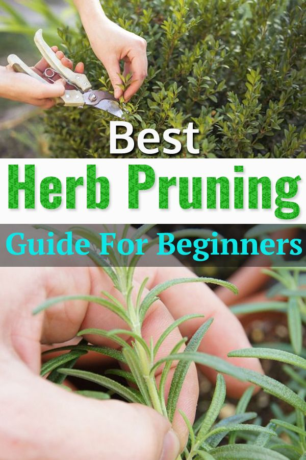 Best Herb Pruning Guide For Beginners #herbsgarden