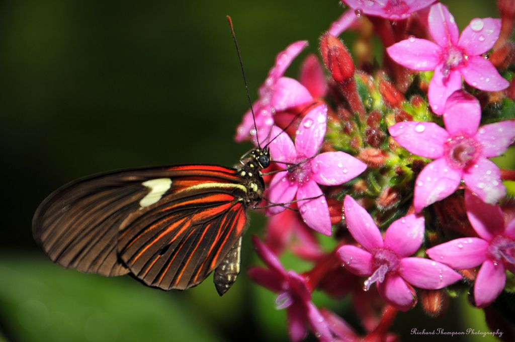 https://flic.kr/p/8aFArG | Red And Brown Butterfly | A red and brown butterfly feeding on some purple flowers.