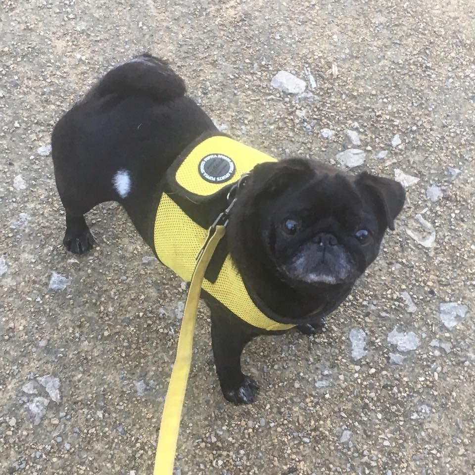 Yellow Puppia Harness Jacket Available At Www Ilovepugs Co Uk