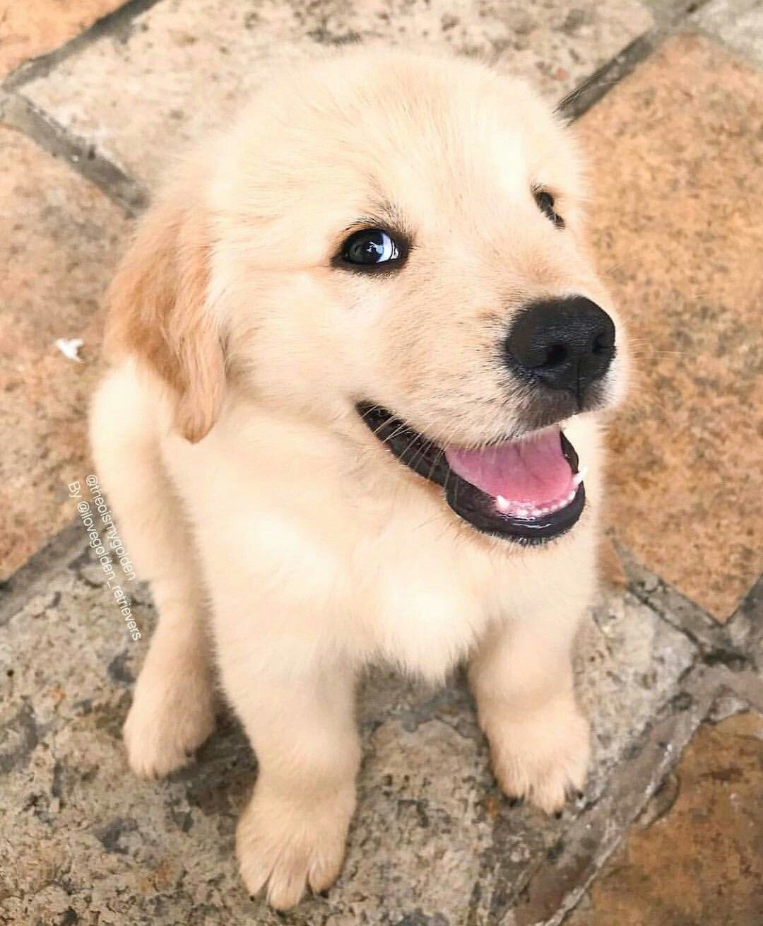 Happy Puppy Goldenretrieverpuppy Cute Dogs Happy Dogs Cute Dogs And Puppies