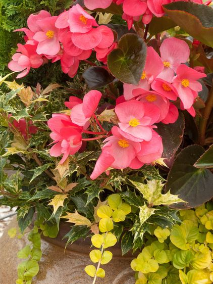6 New Plant Varieties That Beat Out Their Parents Plants Flower Pots Creeping Jenny