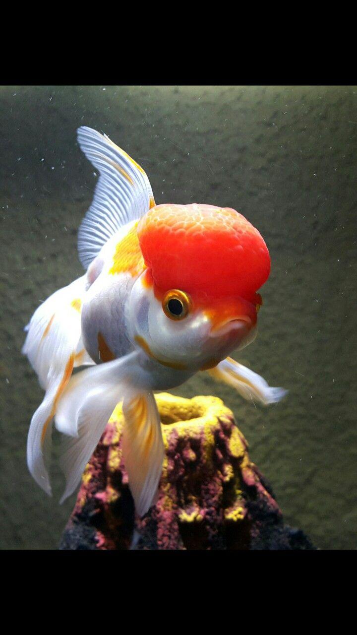 Red Cap Oranda Beautiful Fish Goldfish Going For Gold