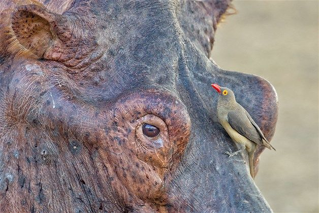 March 27, 2013: A battle-scarred male hippo & a tiny