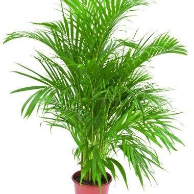 Areca Areca Palmier D Arec Plantes D Interieur Plantes