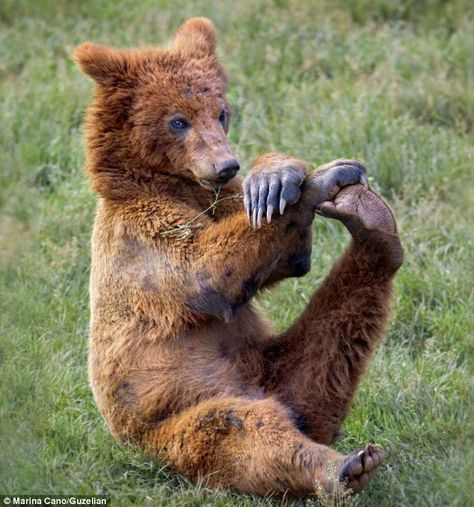 It's Yoga Bear! Brown bear shows off his flexibility with an early-morning stretch #bears