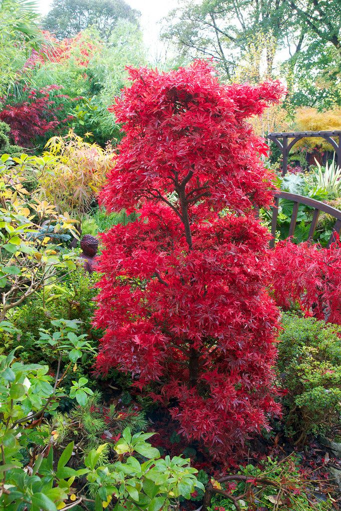 Image Result For Acer Palmatum Shaina Trees And Shrubs Acer