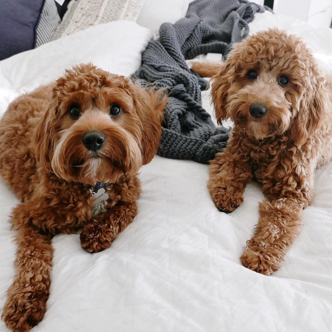 Everything You Need To Know About A Cavapoo Cavapoo Cavapoopuppies Cutepuppies Dogs Dogbeast Cavapoo King Charles Cavalier Spaniel Puppy Cavapoo Puppies