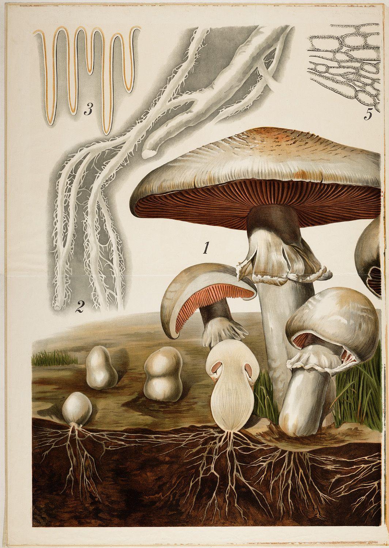 Psalliota Campestris Stuffed Mushrooms Mushroom Art Botanical Illustration Vintage