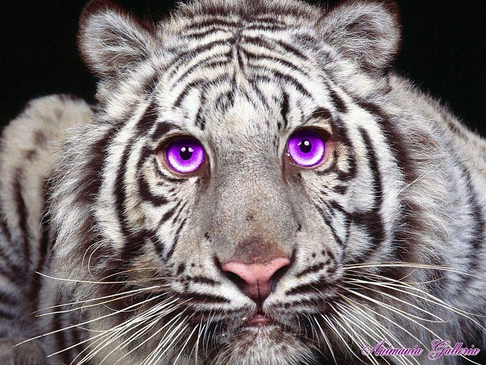 Pin by Kathi Bethel on PURPLE PRETTY Pet tiger, Fierce