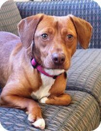 Chicago Il Vizsla Beagle Mix Meet Amber 4 A Dog For Adoption
