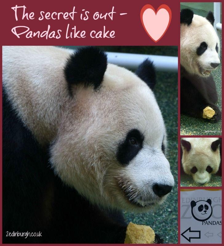 Let Them Eat Cake Yang Guang The Male Giant Panda At Edinburgh Zoo Eating Special Panda Cake Edinburgh Zoo Panda Panda Bear